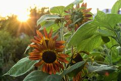 Sunflower. Beautiful flowers. sunflower in garden Royalty Free Stock Photography