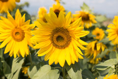 Sunflower in beautiful garden Stock Images