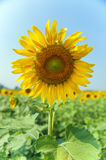 Sunflower. Beautiful landscape with sunflower field stock image