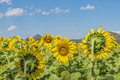 Sunflower. Beautiful landscape with sunflower field over cloudy blue sky Royalty Free Stock Image