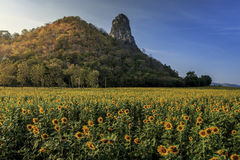 Sunflower. Beautiful landscape with sunflower field over cloudy blue sky and bright sun lights Royalty Free Stock Photos