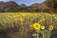 Sunflower. Beautiful landscape with sunflower field over cloudy blue sky and bright sun lights  background blur Stock Images