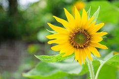 Sunflower. Beautiful Sunflower in the morning Stock Photography