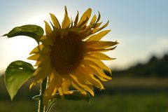 Sunflower on a beautiful natural background royalty free stock photos