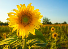 Sunflower. Beautiful nature summer season Stock Photography