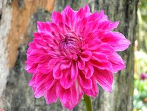 PINK DALIA FLOWER. The beautiful red dalia flower are garden in Bengal Royalty Free Stock Photos