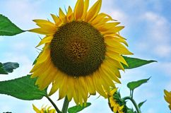Sunflower. A beautiful sunflower shot on a sunny summer evening with an azure sky as background Royalty Free Stock Image