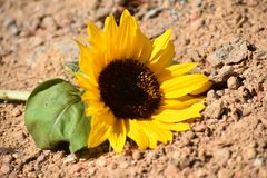 Sunflower. Beautiful Single yellow sunflower on the ground stock photo