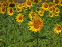 A sunflower. A beautiful sunflower in a summer day Stock Photos