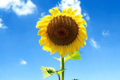 Sunflower on a beautiful summer day Royalty Free Stock Images
