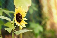Sunflower. The Beautiful summer decorative sunflowersin my garden Stock Photo