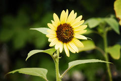 Sunflower. The Beautiful summer decorative sunflowersin my garden Stock Photo