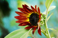 Sunflower. The Beautiful summer decorative sunflowersin my garden Royalty Free Stock Photo