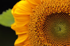 Sunflower. Beautiful sunflowers blooming on the field. Royalty Free Stock Image