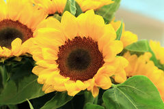 Sunflower Royalty Free Stock Images