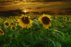 Sunflower. Beautiful sunset with beautiful sunflowers Royalty Free Stock Images