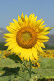 Sunflower. Beautiful sunflower to sunlight and Will bloom during November To December of each year royalty free stock images