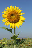 Sunflower. Beautiful sunflower to sunlight and will bloom during November.. To December of each year royalty free stock photo