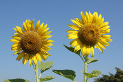Sunflower. Beautiful sunflower to sunlight and will bloom during November.. To December of each year Royalty Free Stock Image