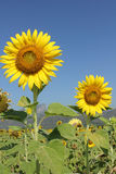 Sunflower. Beautiful sunflower to sunlight and will bloom during November.. To December of each year royalty free stock images