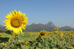 Sunflower. Beautiful sunflower to sunlight and will bloom during November.. To December of each year stock photo