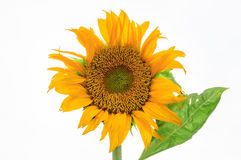 Sunflower. Beautiful Sunflower with white background Royalty Free Stock Image