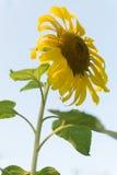 Sunflower. The beautiful sunflower in winter morning Stock Photo
