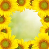 Sunflower Beautiful yellow background Stock Photo