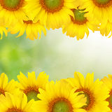 Sunflower Beautiful yellow background Royalty Free Stock Images