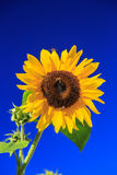 Sunflower. Beautiful yellow sunflower on the background of blue sky Stock Photography