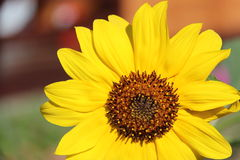 Sunflower. Beautiful yellow sunflower with seed Stock Image