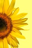 Sunflower Beauty Stock Images