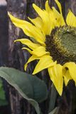 Sunflower. The beauty of the natural Sunflower Royalty Free Stock Photo