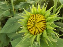 Sunflower. Before it become flower on its best beauty Royalty Free Stock Images