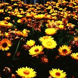 Sunflower bed. San Francisco, Ca Royalty Free Stock Photo