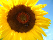 Sunflower and Bee. Close up of sunflower with bumble bee on Stock Photos