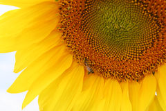 Sunflower with the bee. Sunflower on field of sunflowers with the bee sitting on it Royalty Free Stock Photos