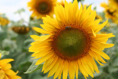 Sunflower with the bee. Sunflower on field of sunflowers with the bee sitting on it Stock Photo