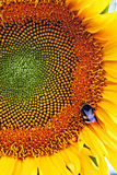 Sunflower and bee. Royalty Free Stock Photos