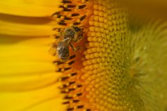 Sunflower with bee. Closeup of sunflower bloom with bee Stock Photo