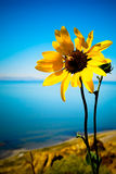 Sunflower and Bee. Sunflower with bee overlooking a lake with high contrast and bright Royalty Free Stock Photography