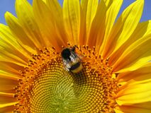 Sunflower bee. Bee on a sunflower against a blue sky royalty free stock image