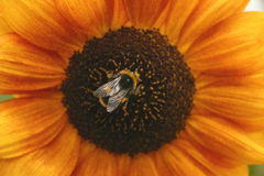 Sunflower and Bee. Close up of bumble bee in the middle of a red-tinted sunflower Stock Image