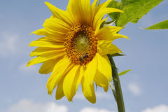 Sunflower and bee. On a farm in the middle of summer Royalty Free Stock Photography
