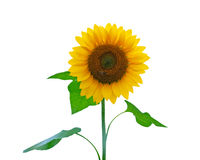 Sunflower and bee. With white background Royalty Free Stock Photography
