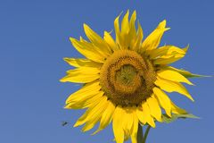 Sunflower and bee. Sunflower series Stock Image