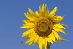 Sunflower and bee. Sunflower series stock image