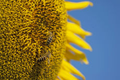 Sunflower bee Stock Images