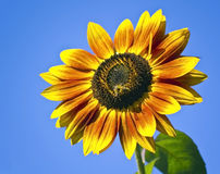 Sunflower with a bee Royalty Free Stock Image