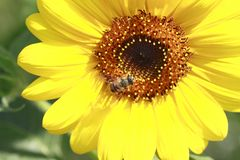 Sunflower and bee Royalty Free Stock Photography